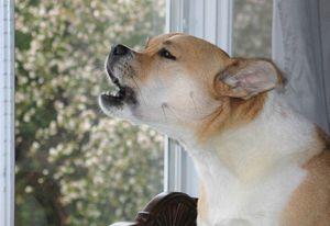 Причины лая собаки соседа